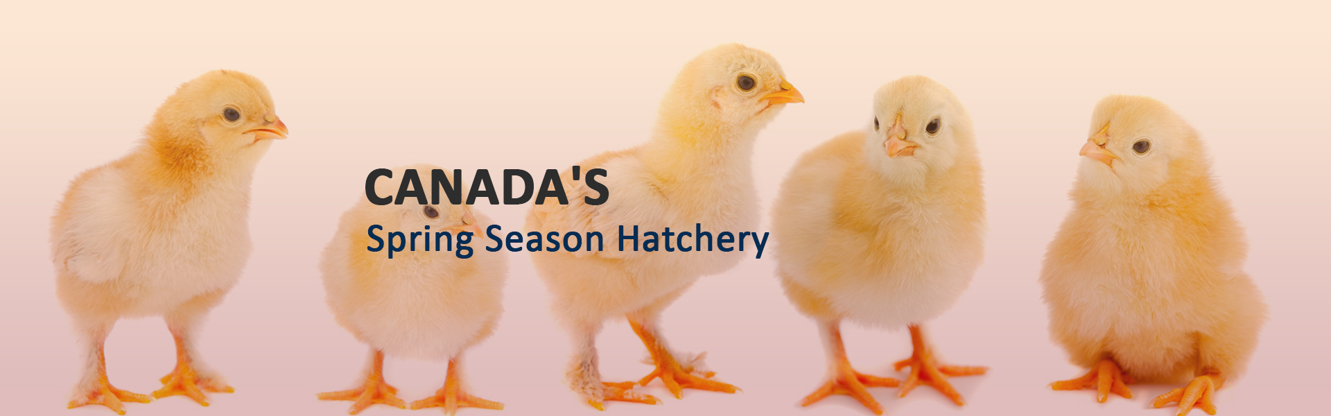 Rochester Hatchery is Canada's larget spring hatchery, specializing